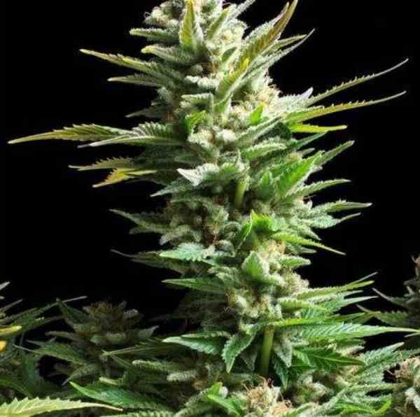 Amnesia Haze - Semilla de Marihuana Amnesia Haze