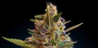 Auto Blue Diesel - Semilla de Marihuana Auto Blue Diesel