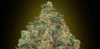 Auto Critical Soma - Semilla de Marihuana Auto Critical Soma