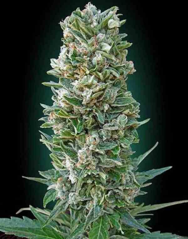 Auto Heavy Bud - Semilla de Marihuana Auto Heavy Bud