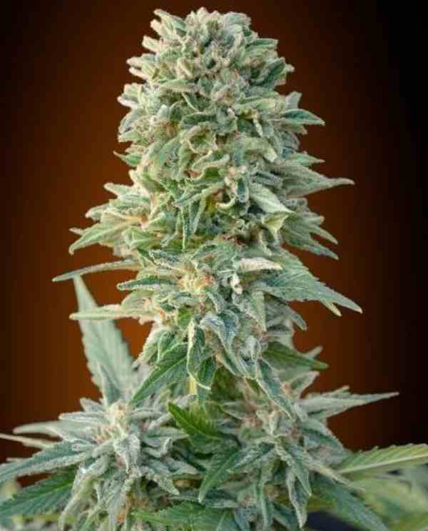 Auto Jack Herer - Semilla de Marihuana Auto Jack Herer