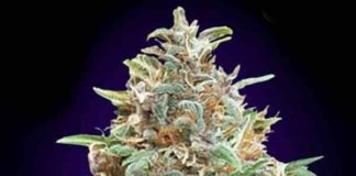 Auto Purple Diesel - Semilla de Marihuana Auto Purple Diesel