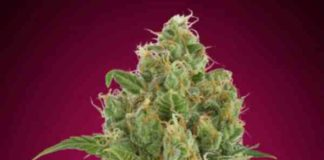 Auto Strawberry Gum - Semilla de Marihuana Auto Strawberry Gum