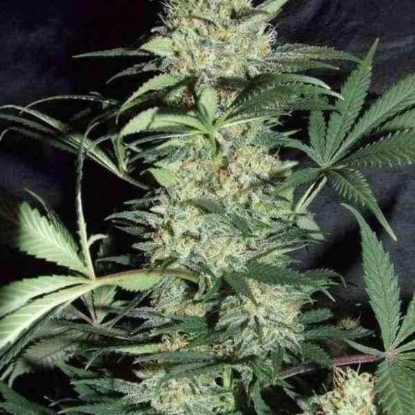 Silver Haze - Semilla de Marihuana Silver Haze