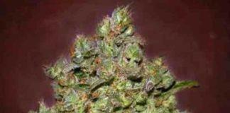 Auto Bio Diesel Mass - Semilla de Marihuana Auto Bio Diesel Mass