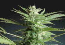 Auto Sweet Dwarf - Semilla de Marihuana Auto Sweet Dwarf