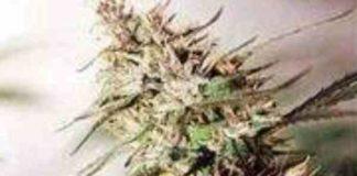 Semilla de Marihuana Caribe Regulardel Banco Cannabiogen