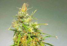 Semilla de Marihuana Durban Regular del Banco Cannabiogen