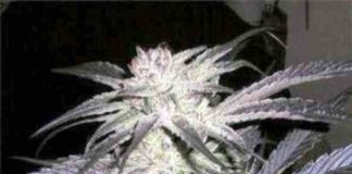 Semilla de Marihuana Peyote Purple Regular del Banco Cannabiogen