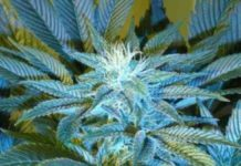 Semilla de Marihuana Sandstormdel Banco Cannabiogen