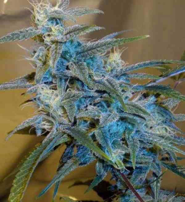 Semilla de Marihuana Sugar Loafdel Banco Cannabiogen