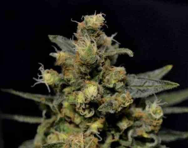 Semilla de Marihuana A-Kdel Banco CBD Seeds