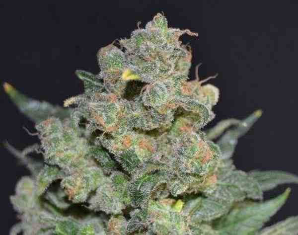 Semilla de Marihuana Cheesedel Banco CBD Seeds
