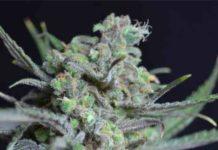 Semilla de Marihuana Criticaldel Banco CBD Seeds