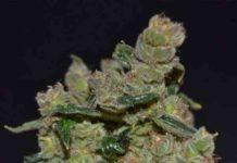 Semilla de Marihuana Diesel del Banco CBD Seeds