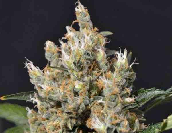 Semilla de Marihuana Kali del Banco CBD Seeds