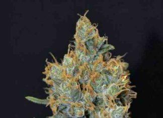 Semilla de Marihuana Lavenderdel Banco CBD Seeds