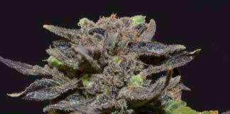 Semilla de Marihuana Magmadel Banco CBD Seeds