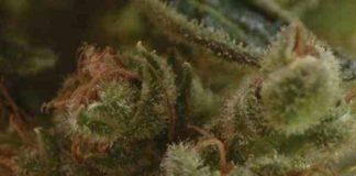 Semilla de Marihuana One To Onedel Banco CBD Seeds