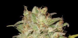 Semilla de Marihuana Widow del Banco CBD Seeds