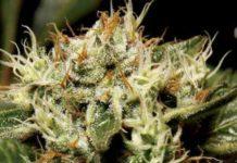 Semilla de Marihuana Yumbolt del Banco CBD Seeds