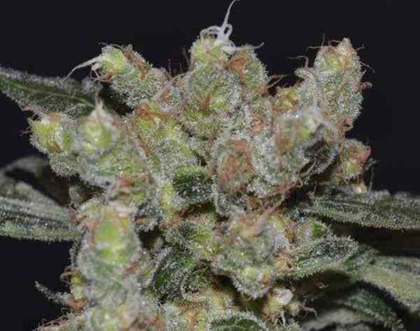 Semilla de Marihuana Zen del Banco CBD Seeds
