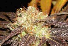 Semilla de Marihuana Auto Diesel del Banco CBD Seeds