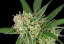 Semilla de Marihuana Sour Banana Sherbet del banco Crockett Family Farms