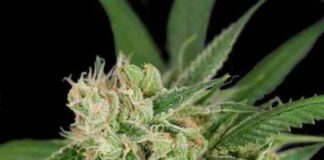 Semilla de Marihuana Sour Banana Sherbet del banco Crockett Family Farms