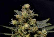 Semilla de Marihuana Auto AK del Banco CBD Seeds