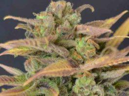 Semilla de Marihuana Auto Critical del Banco CBD Seeds