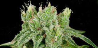 Semilla de Marihuana Banana Split del banco Crockett Family Farms