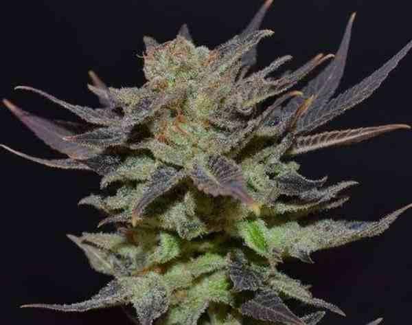 Semilla de Marihuana Auto Lavender del Banco CBD Seeds
