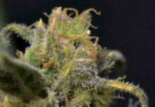 Semilla de Marihuana Auto Northern del Banco CBD Seeds