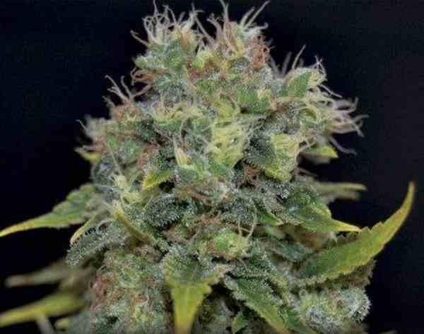 Semilla de Marihuana Auto Yumbolt del Banco CBD Seeds