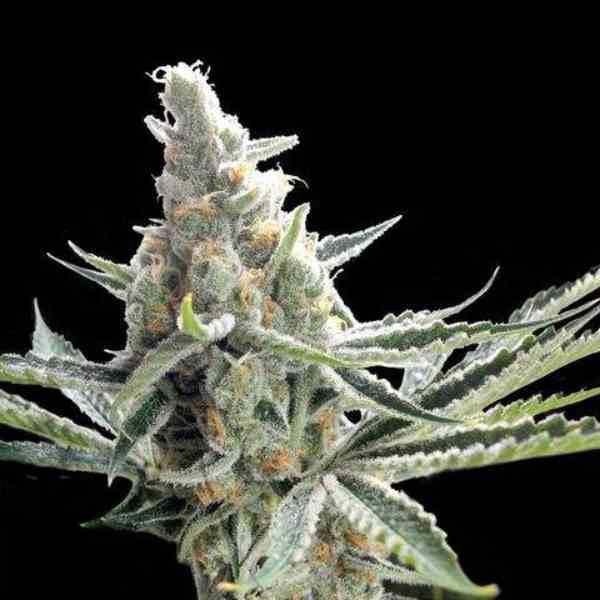 Semilla de Marihuana Crockett's Tangie del banco Crockett Family Farms