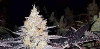 Semilla de Marihuana Double Lemon Pie del Banco Dark Horse Genetics