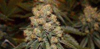 Semilla de Marihuana Gamma Berry del Banco Dark Horse Genetics