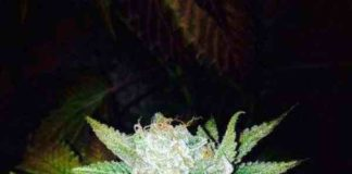 Semilla de Marihuana Orange Cream del banco Dark Horse Genetics