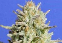 Semilla de Marihuana Honey Glue del banco Honey Buds Seeds