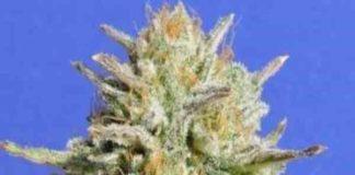Semilla de Marihuana Honey Glue del banco Honey Buds Seeds