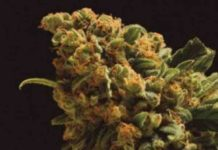 Semilla de Marihuana Nektar del banco Honey Buds Seeds