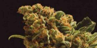 Semilla de Marihuana Nektar del banco Honey Buds Seeds