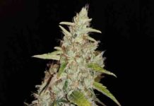Semilla de Marihuana Circe del banco Honey Buds Seeds