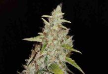 Semilla de Marihuana Circe del banco Honey Buds Seeds