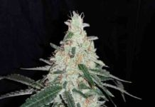 Semilla de Marihuana Forgetting Cookies del banco Honey Buds Seeds
