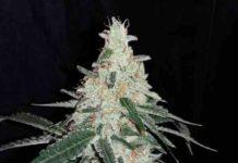 Semilla de Marihuana Forgetting Cookies del banco Honey Buds Seeds