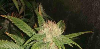 Semilla de Marihuana Lemon Skunk Honey del banco Honey Buds Seeds