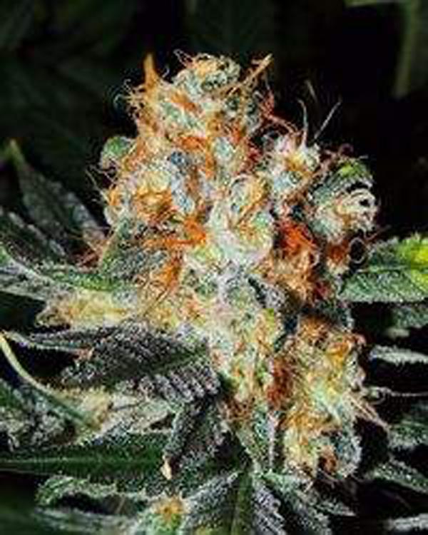 Semilla de Marihuana Jaffa Cake del Banco Cali Kush Farms