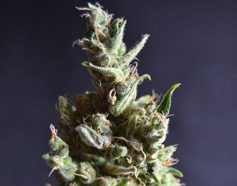 Semilla de Marihuana Amnesia 5del Banco CBD Seeds